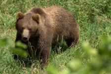 Predavanje Ali res poznamo rjavega medveda?