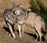 Predavanje Sivi volk – ogrožen ali grožnja?